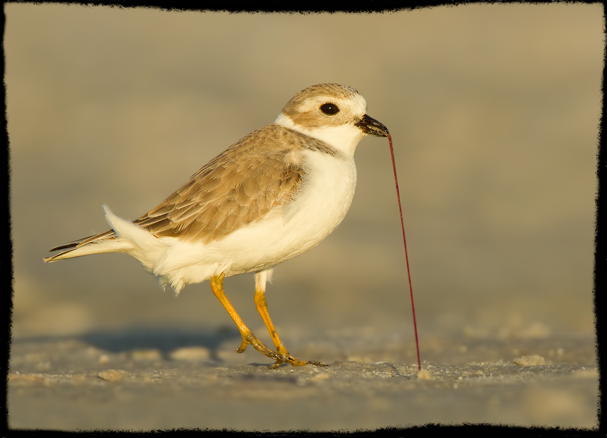 Piping Plover Pulling a Worm