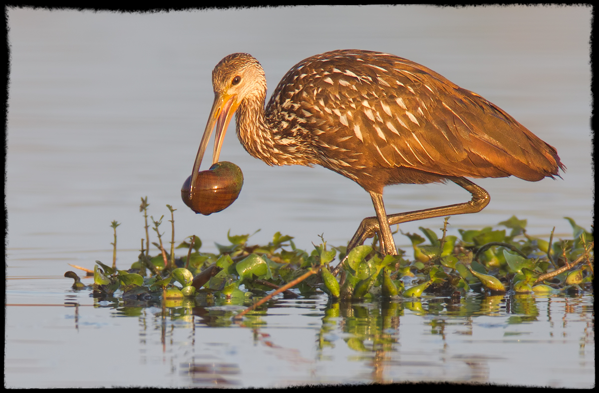 Limpkin and Breakfast