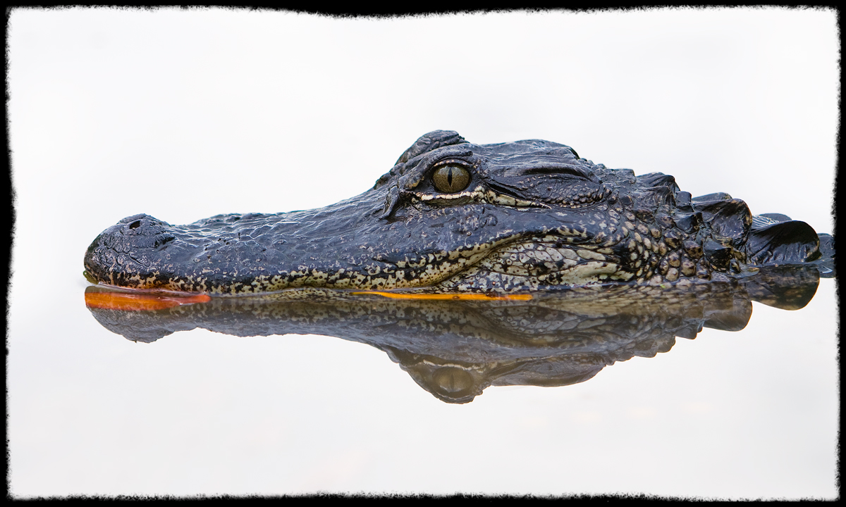 Gator in High-Key
